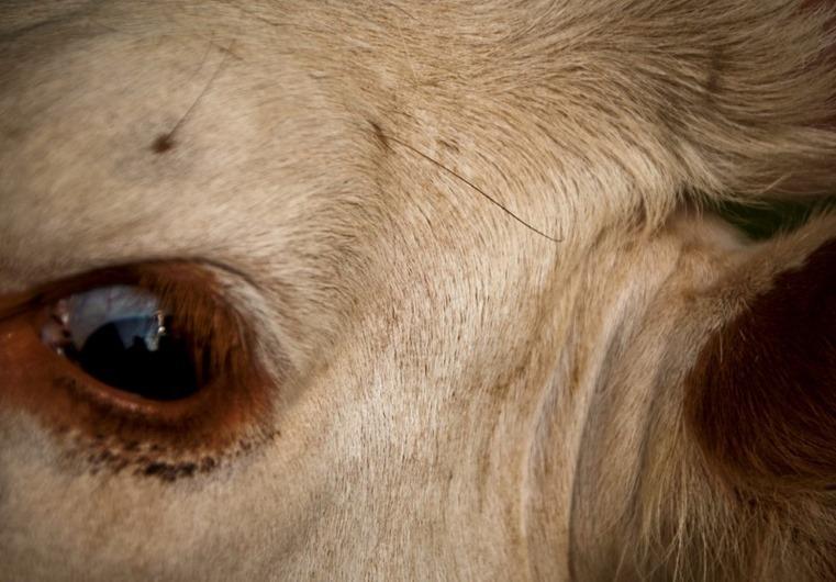cow-eye